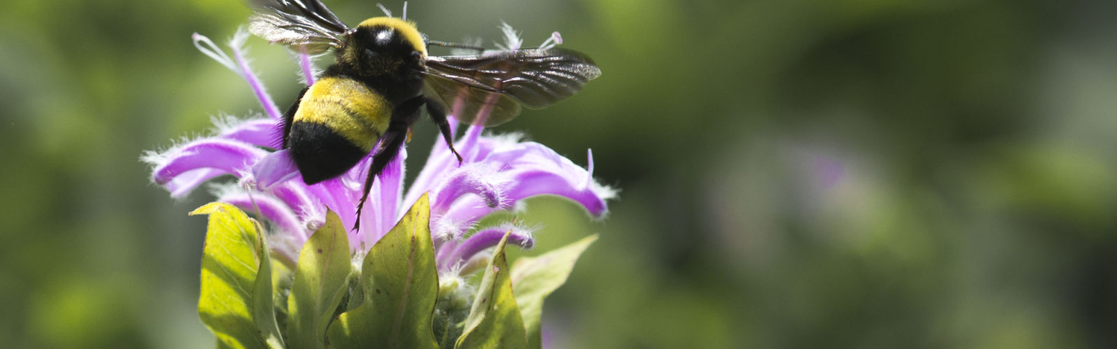 Black and gold bumble bee landing on bee balm