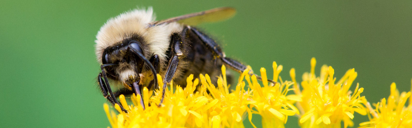 Male common eastern bumble bee